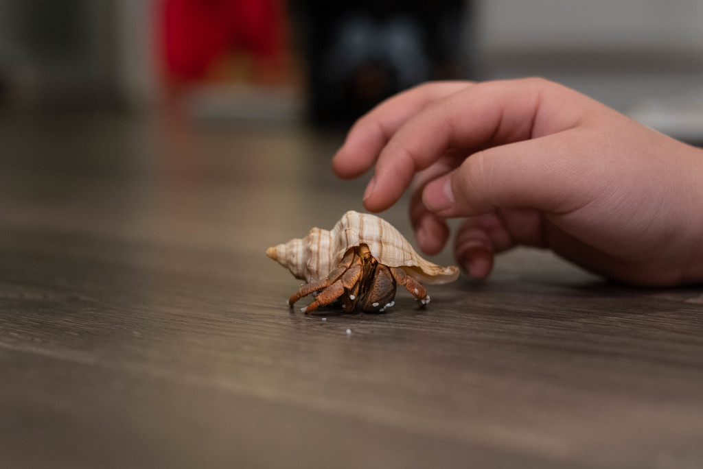 My sons hermit crab thats name always changes by mistyhammond