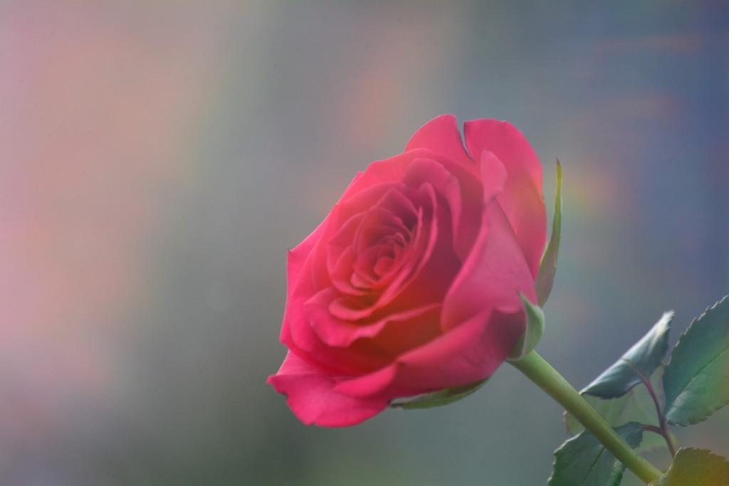 Rose........ by ziggy77