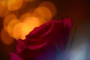 3rd Jan 2020 - Red Rose......