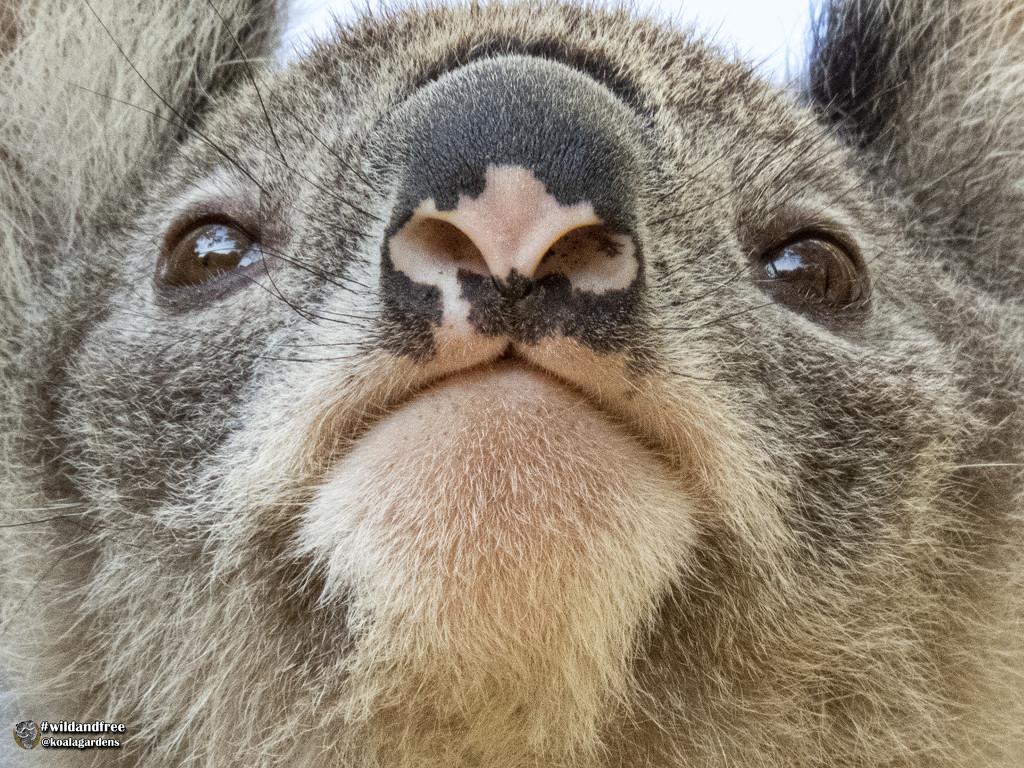 simply irresistible  by koalagardens