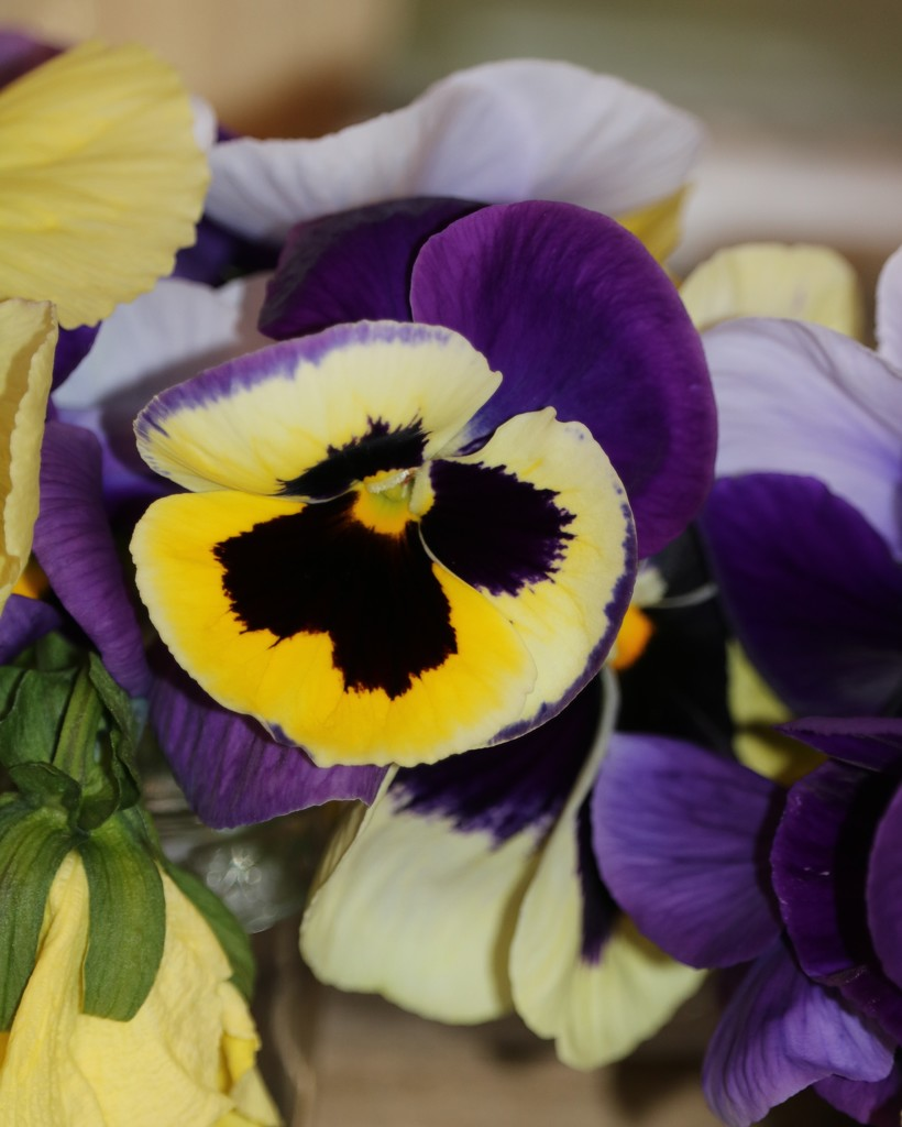 January 3: Pansies by daisymiller