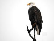 4th Jan 2020 - Eagle