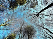 30th Dec 2019 - Sea of Trees