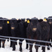 cattle push