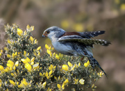 4th Jan 2020 - The smallest bird of prey