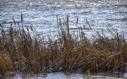 4th Jan 2020 - Lake Grasses