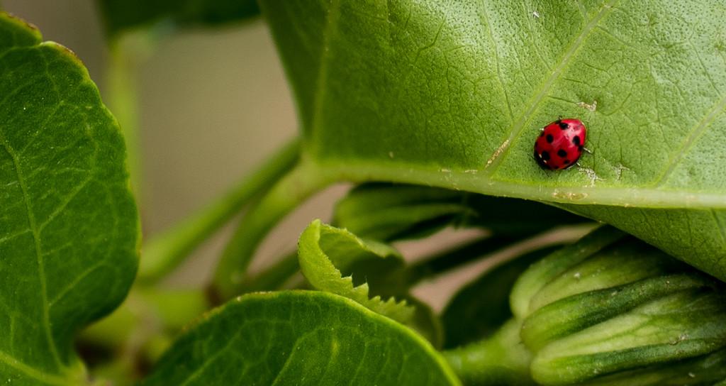 Lady Bug by brigette