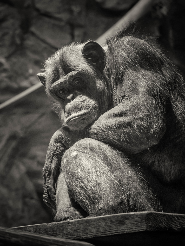 Chimpanzee by haskar