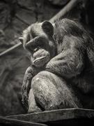 4th Jan 2020 - Chimpanzee