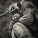 Chimpanzee by haskar