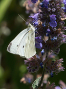 5th Jan 2020 - Cabbage White Butterfly