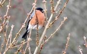 4th Jan 2020 - Bullfinch
