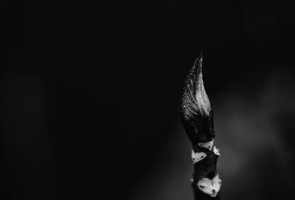 Hydrangea bud by rumpelstiltskin