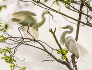 5th Jan 2020 - White Egret Rookery