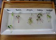 6th Jan 2020 - A Lesson in Microgreens