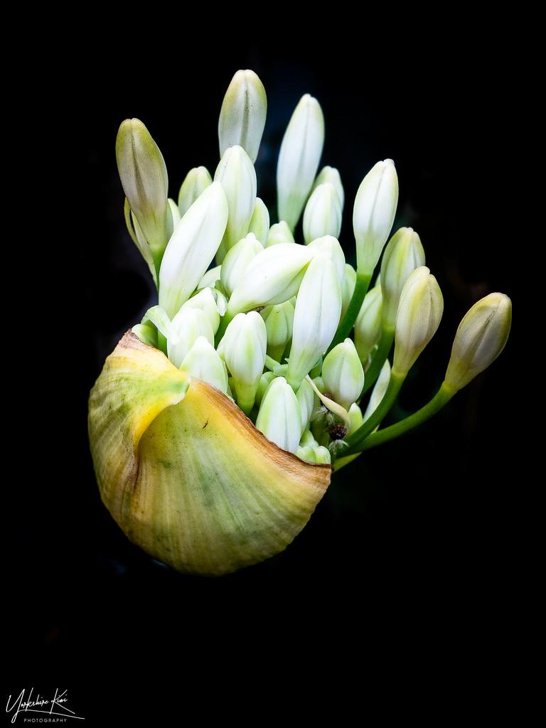 White Agapanthus by yorkshirekiwi