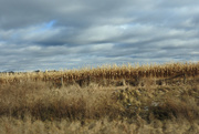 4th Jan 2020 - Corn and clouds