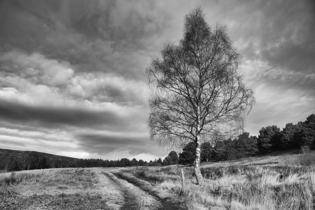 The Lonesome Birch by jamibann