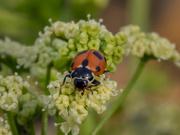 4th Jan 2020 - Ladybug