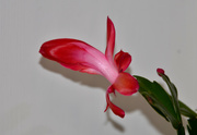 6th Jan 2020 - Christmas Cactus Flower