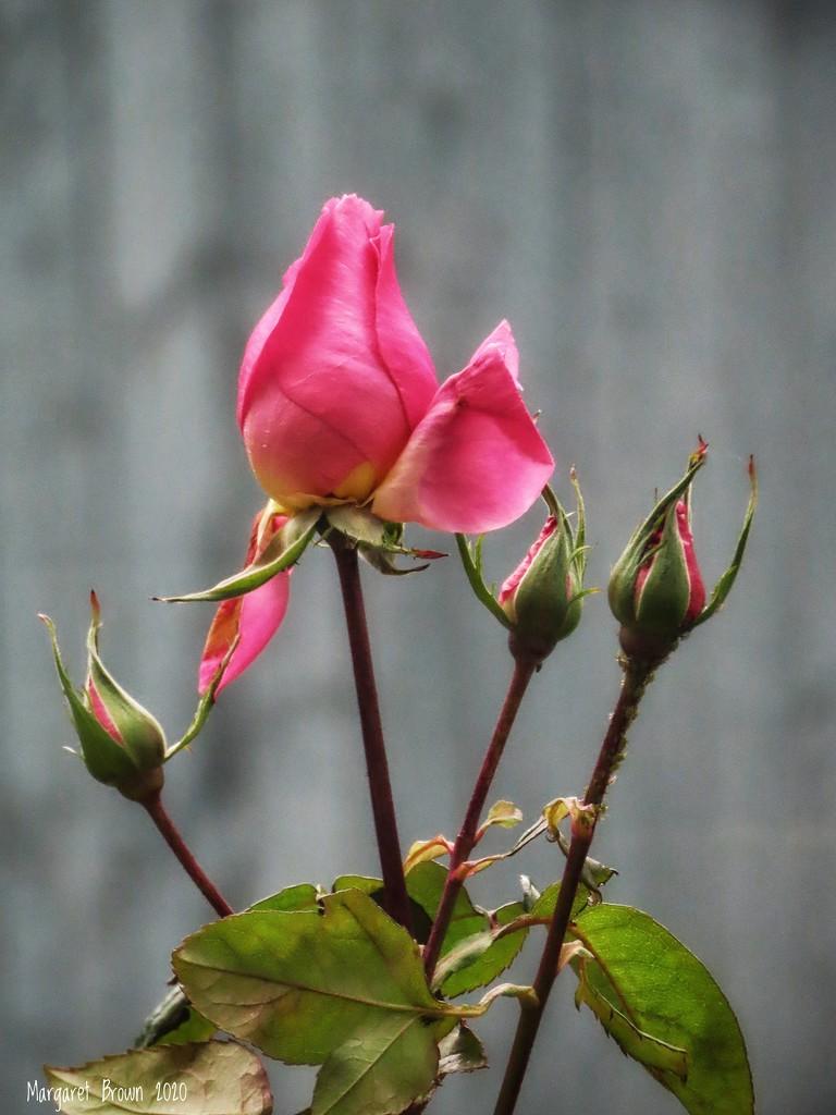 Still flowering by craftymeg