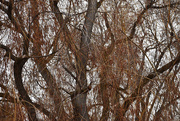 6th Jan 2020 - Neighbor's Willow Tree