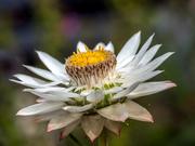 6th Jan 2020 - Daisy flower