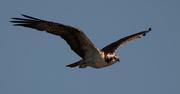 6th Jan 2020 - Flying Bird Day, Osprey!