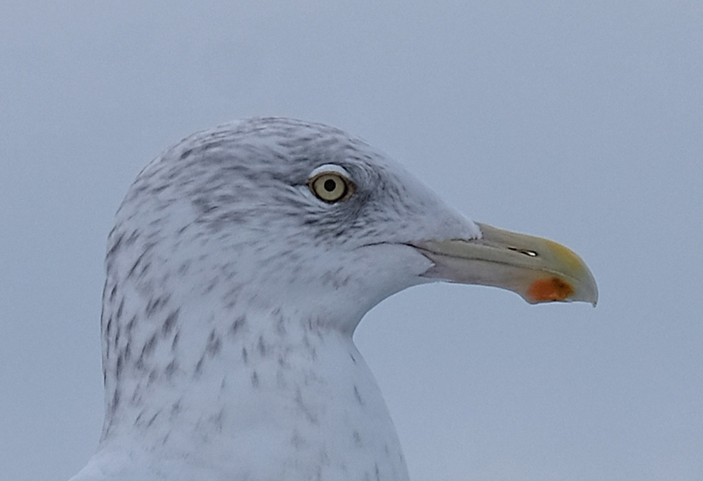 Seagull  by tosee