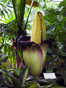 7th Jan 2020 - Corpse flower