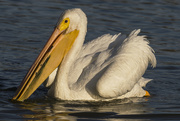 7th Jan 2020 - White Pelican Pauses During the Hunt