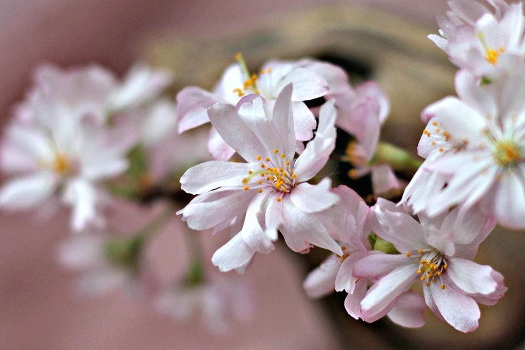 Winter Flowering Cherry by wendyfrost