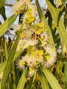 3rd Jan 2020 - Eucalyptus territocornis