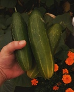 6th Jan 2020 - Cucumbers from the garden