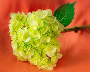 7th Jan 2020 - green hydrangea