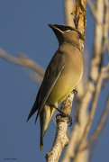 8th Jan 2020 - Cedar Waxwing...Actually Sitting Still For A Minute!