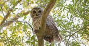 7th Jan 2020 - Barred Owl Keeping an Eye on Me!
