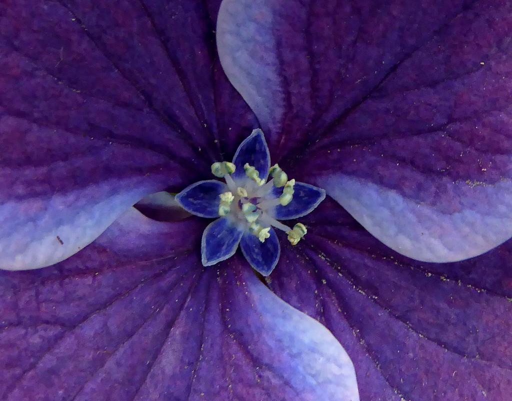 Hydangea flower centre macro by maureenpp