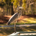 Blue Heron Hanging Out on the Rail! by rickster549