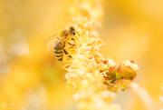 8th Jan 2020 - Bee in yellow