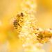 Bee in yellow by yorkshirekiwi