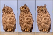 8th Jan 2020 - Spotted Eagle Owl