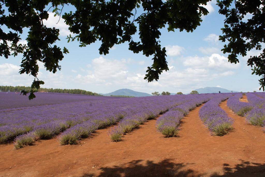 Lavender Estate, Tasmania, Australia by kgolab