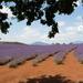 Lavender Estate, Tasmania, Australia