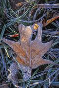8th Jan 2020 - Frosty Leaf