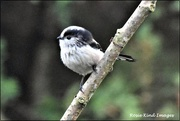 8th Jan 2020 - One of my little long tailed tits