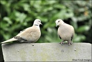 8th Jan 2020 - My little collared doves