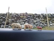 8th Jan 2020 - pig family outing