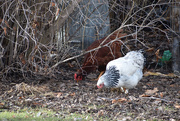 8th Jan 2020 - Neighbor's Chickens Come To Visit