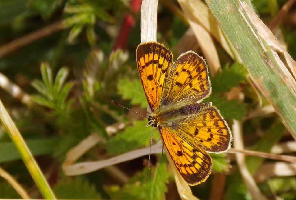 Copper butterfly by maureenpp